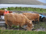 Scotland: The Hairy Coos