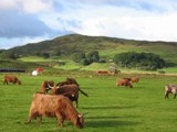 Scotland: Cool Hairy coos