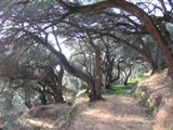 Greece: Pretty Olive Trees