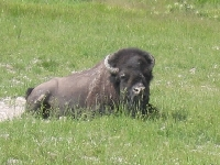 An Old Bison that Got Ran out of the Herd